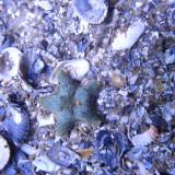 L'astérie bossue (Asterina gibbosa)