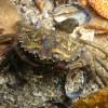 le crabe vert (Carcinus maenas)
