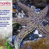L'étoile de mer glaciaire (Marthasteria glacialis)