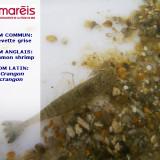 La crevette grise (Crangon crangon)