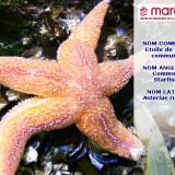 L'étoile de mer commune (Asterias rubens)