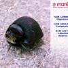 Le bigorneau (Littorina littorea)