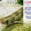 La petite roussette (Scyliorhinus canicula)