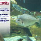 La Dorade Grise (Spondyliosoma cantharus)