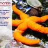 L'étoile de mer rouge (Echinaster sepositus)
