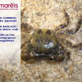 Le crabe japonais (Hemigrapsus sanguineus)
