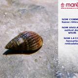 La Nasse réticulée (Nassarius reticulatus)