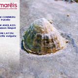 La patelle (Patella vulgata)