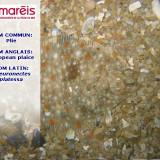 La Plie (ou Carrelet ) (Pleuronectes platessa)