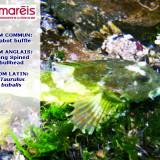 Le Chabot Buffle ( Taurulus bubalis)