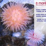 Le Dahlia de mer (Urticina felina)