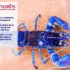 Le homard (Homarus gammarus)